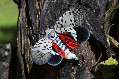Spotted Lantern Flies: A Biological Invasion
